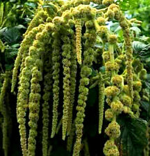 Love Lies Bleeding Seeds, Green, Tassle Flower, Amaranthus, Heirloom Seeds 50ct