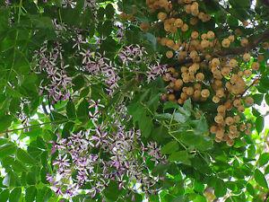 für den Garten: der wunderschöne Perlenbaum hat entzückende Blüten und Früchte !