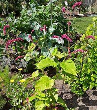 10 Samen Persicaria orientalis - Orientalischer Knöterich - Biogarten 2021