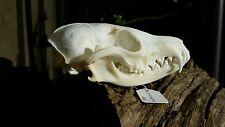 ANIMAL SKULL RED FOX SKULL GENUINE BONE TAXIDERMY EDUCATION COLLECTION PUNK