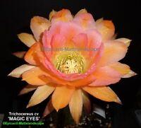 "Trichocereus,Hybrid, ''MAGIC EYES"",2 Small,Plant,(s), in1,Echinopsis,Cactus,rare"