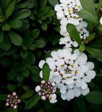 Schleifenblume Iberis sempervirens Weißer Zwerg Frühlingsblüher