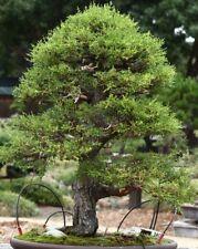 Monterey Cypress Bonsai Sapling. Outdoor tree. Beautiful and easy to grow/train