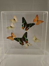 Beautiful Butterfly Taxidermy, Real Insect Specimens Display Signed by Artist