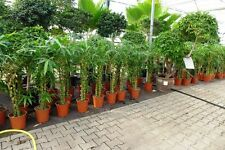 ,ca. 120 -  140  cm Zimmerbambus Bambus variegte Knotenbambus