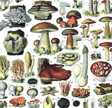 1897 Mushroom fungi boletus food kitchen deco art nouveau French print