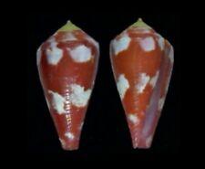 7821 Conus (Rhizoconus) pertusus - 27 mm - gem - Philippines - AMAZING!