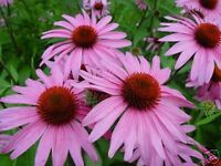 Coneflower- Purple - 200 Seeds- BOGO 50% off SALE