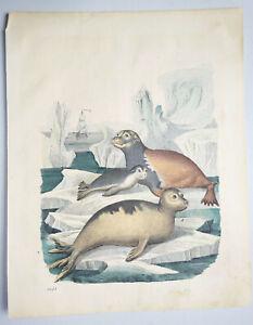 Coloriée Lithographie - Phoques Toge - 1851 (D7