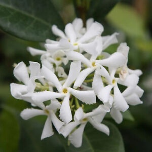 Trachelospermum jasminoides Japonicum-Star Jasmine Plant in  3.5 '' Pot