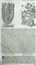 Thymelee Chamalee Grabado Botánica Matthioli Mattioli Matthiole Dioscorides