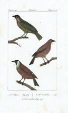 CARDELLINO GOLDFINCH - Incisione 1800 Buffon Uccelli Ornitologia Hornitology