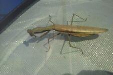 Praying mantis live, Madagascar Marbled, L1-L2, very active eating fruit flies.