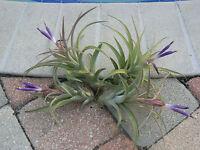 Bromeliad Tillandsia Pink Velvet medium near or in Spike Tropical Air Plant