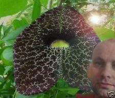 Gespensterblume fleischfressende exotische Pflanze besondere Kletterpflanze Deko