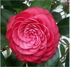 5 Camellia ABANG seeds ,potted plants ,DIY Home & Garden Rich Flower Perennial