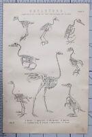 1868 Aufdruck Skelette Comparative Blick Vögel Merlin Scheune Eule Specht Strauß
