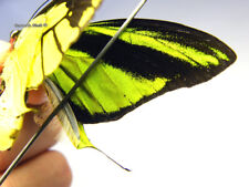 Unmounted Butterfly/Papilionidae - Ornithoptera meridionalis tarunggarensis, P1