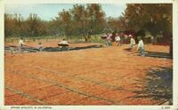 Drying Apricots Farmers Sun Pans Orchard California CA Vintage 1920's Postcard