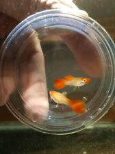 5 Pair Guppy Albino Koi Live Fish Male & Female Pet Supplies Aquariums