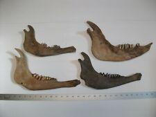 Fossil Bison Jaw Bones Teeth Extinct Ice Age Buffalo Skull Ia {j5}