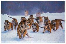 Tigers Playing in Snow, Bengal Tiger Streak, Wildcat --- Modern Animal Postcard
