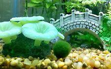Big Sale! 30 x Tiny Japanese Marimo Moss Balls 0.25inch (0.64cm) Aquarium Plants