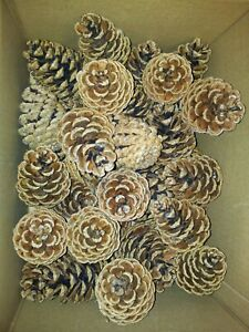 60 Pine Cones 5-8 cm Craft, Wedding, Wreaths, Florist,Christmas.