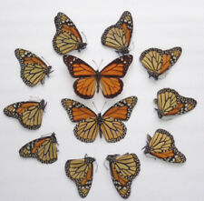 Real Monarch Danaus Plexippus Wholesale Lot 10 Pcs Butterfly A1 Unmounted.
