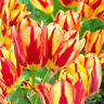 50PCS raras Semillas De Tulipán Hermosa Flor Floral Decoración Hogar Jardín