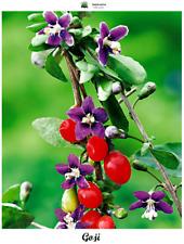 Lycium barbarum - Goji - 100 semillas - Saatgut - Graines - Semi - Bio