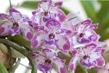 1 Flask/25 plants Orchid Rhynchostylis gigantea 'Blue Spots' x SIB Free Phyto