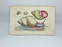Sea Snail - 1783 RARE SHAW & NODDER Hand Colored Copper Engraving