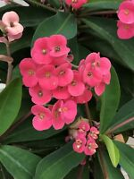 """Euphorbia milii Crown of Thorns, 4"""" Pot, 5""""+ in stalk length"""