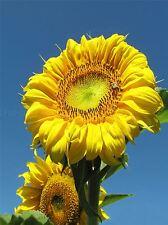 SUNFLOWER YELLOW FLOWER SUN PHOTO ART PRINT POSTER PICTURE BMP2302A