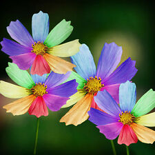 100Pc Rainbow Colorful Chrysanthemum Flower Plant Seeds Bulbs Garden Decor