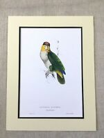 Antique Parrot Print Bay Headed Parrots White Bellied Green Yellow Exotic Birds