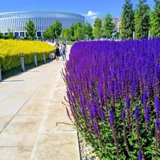 "Sage Seeds ""Kubanets"" Heirloom Plants Herbs Flower Seeds Home Garden Decor"