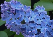 25 Blue Lilac Seeds Tree Fragrant Flowers Flower Perennial Seed 865 Us Seller
