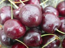Cherry Tree Regina Bare Root Fruiting Sweet Cherries Plant Outdoor Edible Garden