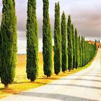20 pcs/bag Gaint arborvitae blue cypress conifer tree Bonsai seeds home garden P