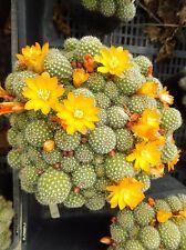 Cactus Rebutia fabrisii v aureiflora yellow flowering 15 plants drought tolerant