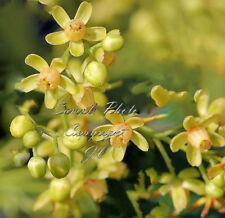 5 Seeds Big Leaf Mahogany Tree Rare Rugged Look Bonsai Swietenia macrophylla