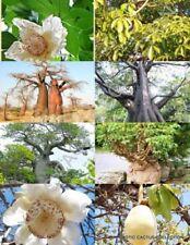 Adansonia Digitata rare Baobab bottle tree bonsai exotic flowering seed 10 seeds