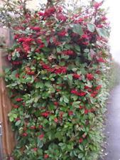 Cotoneaster lacteus - bushy hedging plants in 9cm pots quote for quantity