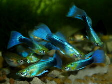 Pair of Neon Blue Tuxedo Guppy (Poecilia reticulata, Livebearer)