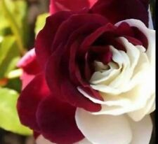Rare Rose Seeds Home Garden Perennial Plant Flower Indoor Bonsai Flowers 100pcs