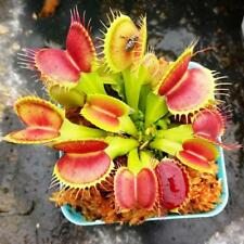 50 Pcs/Bag Wholesale Venus Fly Trap Seeds Carnivorous Plant Home Garden
