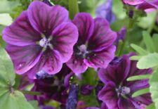 eine schöne Blume für den Blumengarten die mauretanische Malve Toll - Saatgut.