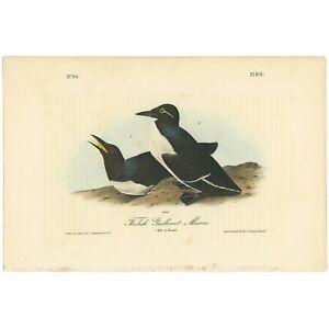 Audubon Octavo 1st Ed 1840 hand-colored litho Pl 473 Foolish Guillemot - Murre